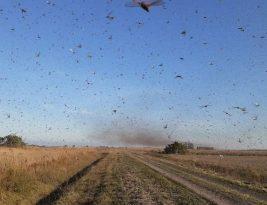 Nuvem de gafanhotos chega à Argentina e se aproxima perigosamente do Brasil